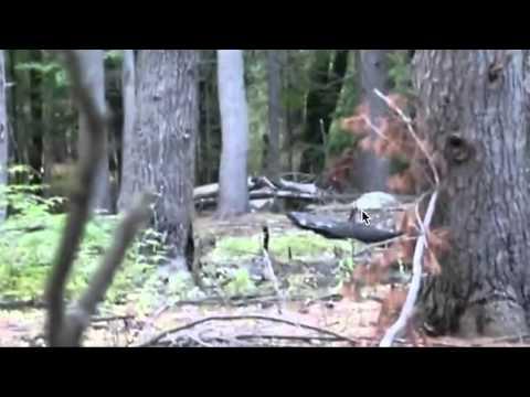 Baby Bigfoot Sighting (Massachusetts) Breakdown