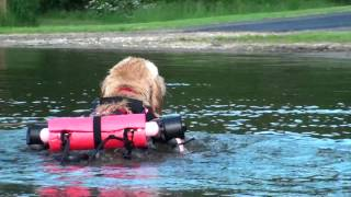 Disabled Golden Retriever Swims With Wheelchair