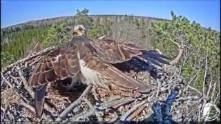 Скопа защищает гнездо от орлана. Латвия.