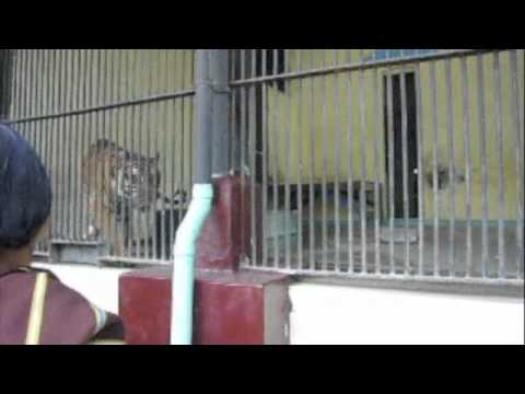 Tiger, Yangon Zoo in Myanmar.