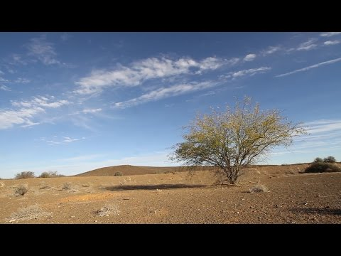 Prosopis invasions in South Africa: A blessing or curse?