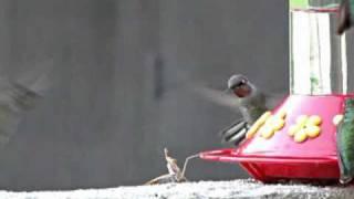 まさか本気でやっちまうとは!フィーダーにやってきたハチドリを襲うカマキリ