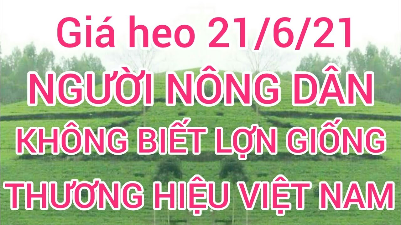 Giá heo hơi (lợn hơi) ngày 21/6/21. Lợn giống thương hiệu Việt Nam mà người nông dân không biết