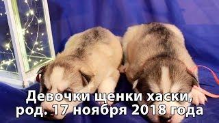 Предлагаем щенков хаски девочки серо-белые, родились 17 ноября 2018 года