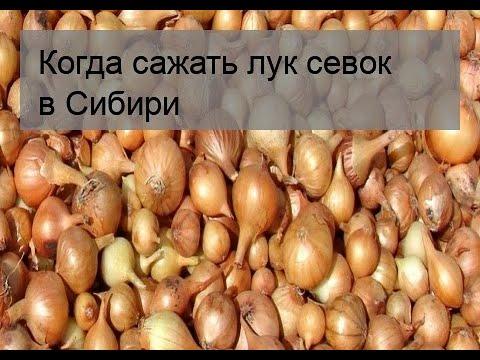 Вопрос: Когда сажать лук севок в открытый грунт в Сибири?