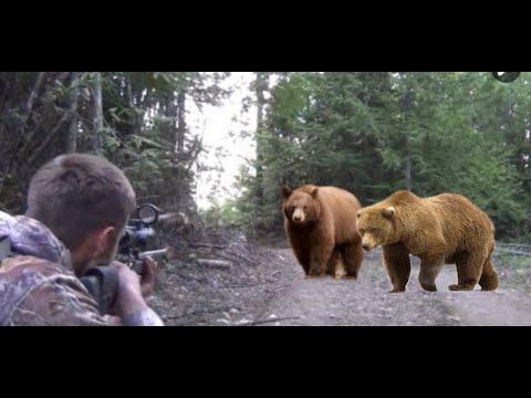 🐻🐼🐨Bear hunting using dogs #صيد #الدب  #hunting#Bear#lions