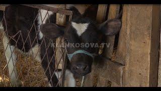 Mungojnë matrikujt, nevrikosen fermerët - 18.02.2016 - Klan Kosova