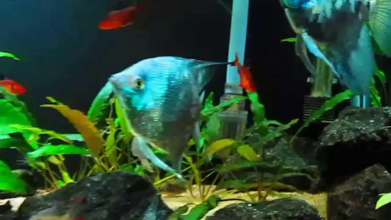 Blue Angelfish | Smokey Blue Angelfish Youtube