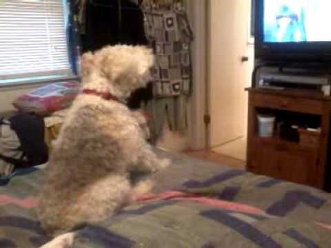 Harley Wire Fox Terrier barking at TV