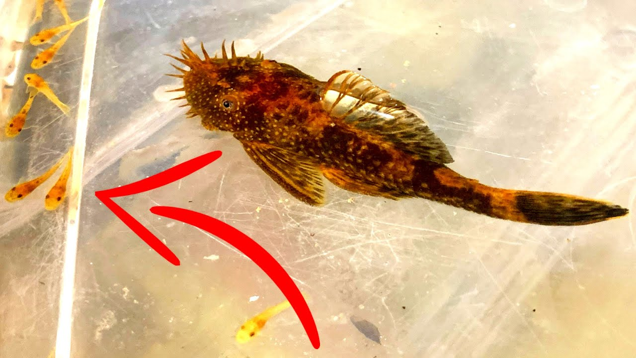 Bristlenose Plecos Everything You Want To Know Youtube