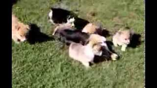 Welsh Corgi Puppies - Www.greenfieldpuppies.com
