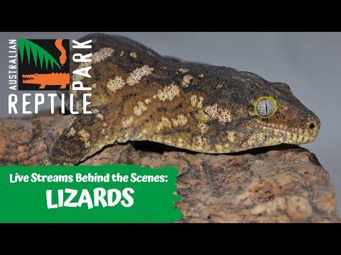 LIZARDS (LIVE FOOTAGE) | AUSTRALIAN REPTILE PARK