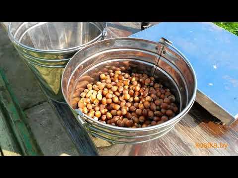 Фундук краснолистный kostka. Описание, сбор урожая, внешний вид саженца фундука в горшке.