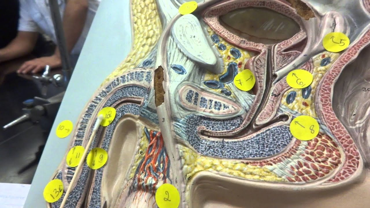 Human anatomy model of male reproductive system - YouTube