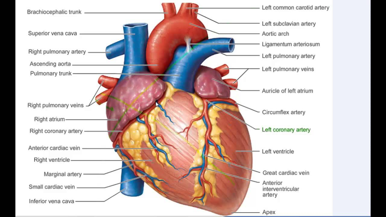 Girl Wallpaper Longitudinal Coronary Arteries Of The Heart Nik Nikam Md Mha All
