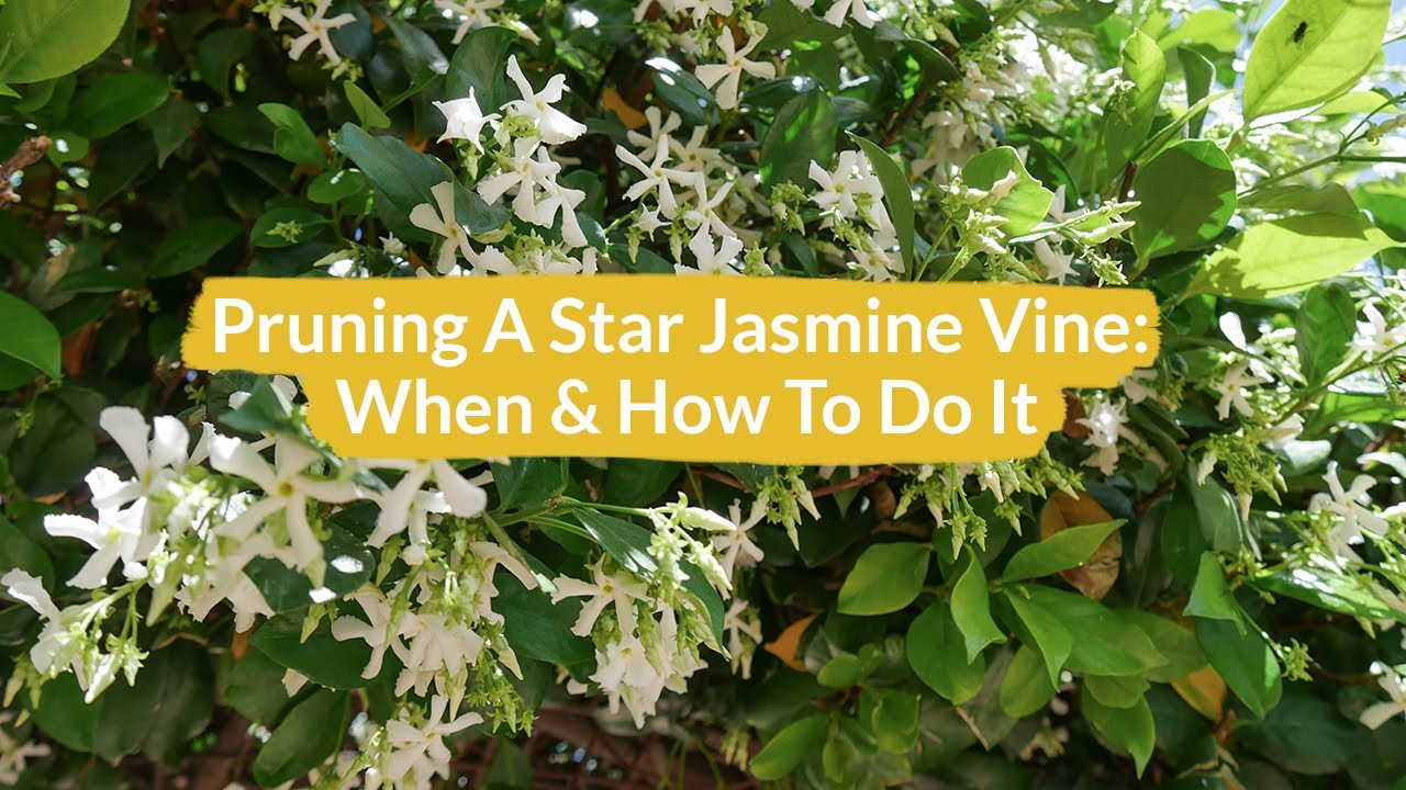 Pruning a star jasmine vine how when to do it joy us garden pruning a star jasmine vine how when to do it joy us garden izmirmasajfo