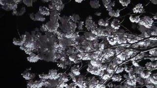 夜桜 花見 狭山池 桜 桜 桜 さくら さくら さくら サクラ サクラ サクラ 2016年3月31日 ラバー・ダック