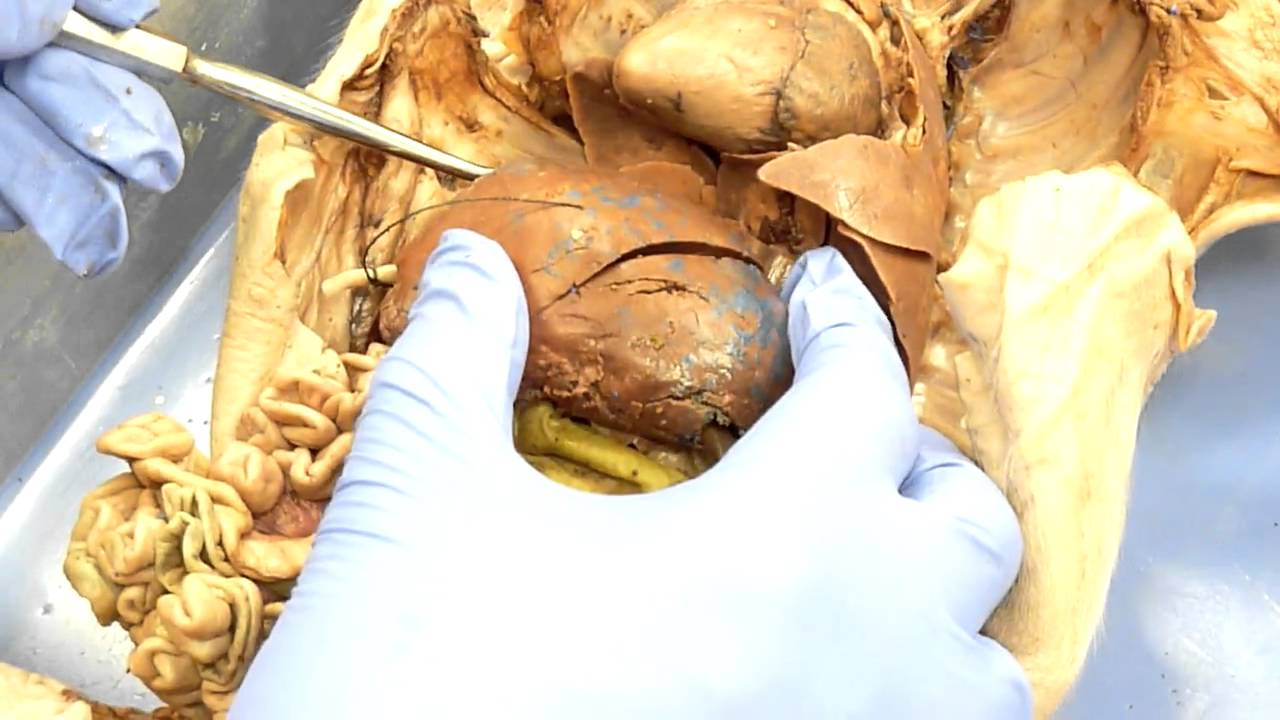 Unf Fetal Pig Digestive Large Intestine Youtube