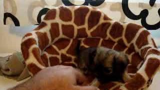 Chihuahua Femmina A Pelo Lungo 3290680011