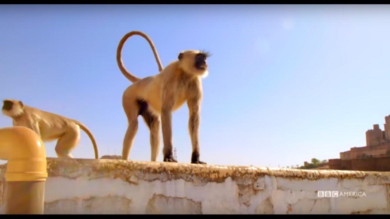 Planet earth ii season 1 episode 2 2016 - Stealthy Monkeys Rule This City Planet Earth Ii