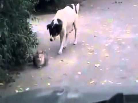 Köpeğin kediye sinsi saldırısı - Kedinin Yüreği Ağzına Geldi yoksa köpeğin mi?