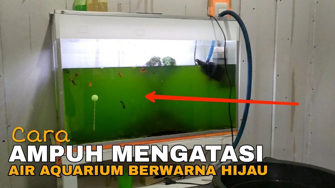 Ampuh Sekali!! Ini Obat Ngatasi Air Aquarium Berwarna Hijau