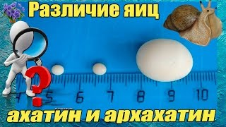 Яйца улиток ахатин и архахатин их различие