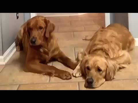 These two dog totally fail the toddler challenge