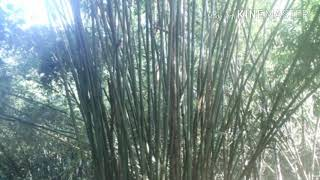 30 types of Bamboo in Bangladesh