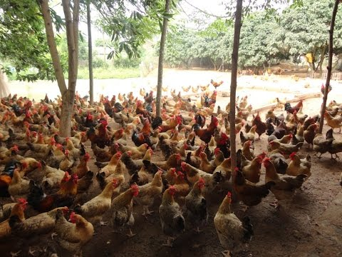 Cách nuôi gà thả vườn, gà ta đạt lãi suất cao