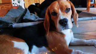 Happy New Year🍀Rhodesian Ridgeback +Beagles