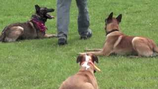Protection Dog Training Belgian Malinois & Pitbull With Attention Dog Training!
