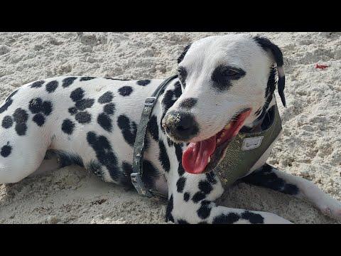Davis Island Dog Beach, Red Tide, Aquarium, Gulf of Mexico DAY 2