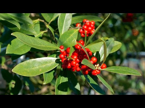 Dahoon Holly - Plant Nursery- Tree Farm- Trees for sale Miami, Florida