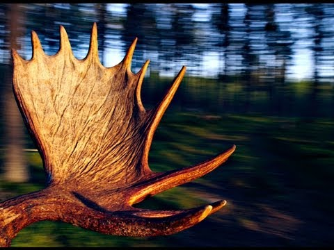 Moose Hunting , The Biggest Trophies  - How To Hunt Moose In Sweden...www.wildlifefilm.com