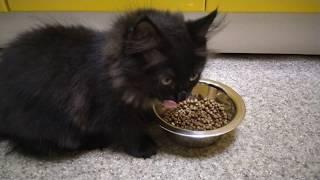 Котенок мейн-кун кушает сухой корм Grandorf