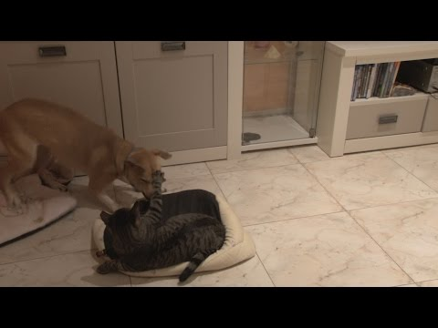 Katze und Hund Streit um das Hundebett Teil 2