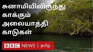 சுனாமியிலிருந்து காக்கும் அலையாத்தி காடுகள் – தமிழக வனத்துறையின் முயற்சி | Mangrove Forest | Tsunami