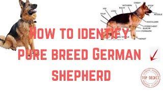 How to identify pure breed German shepherd
