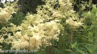 Meadowsweet herb: Filipendula ulmaria
