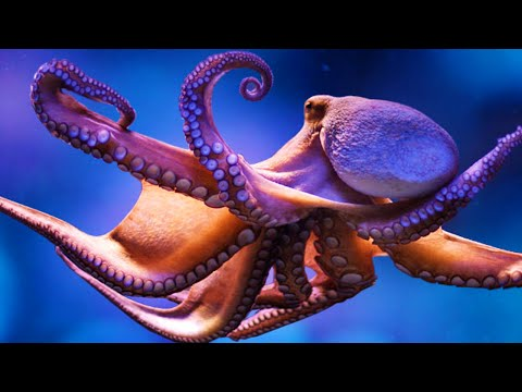 Thumbnail: The Amazing Octopus