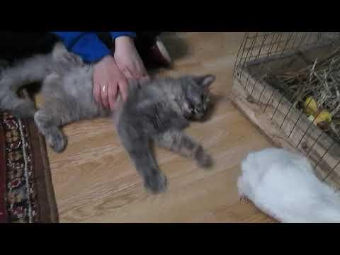 Кошка VS Морская свинка // Охота кошки на морскую свинку!