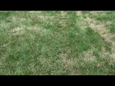 How to prevent crab grass and other weeds in lawn organic method.