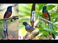 Mengintip Aksi Gila Kicauan Burung Murai Batu Di Alam Liar  Mp3 - Mp4 Download