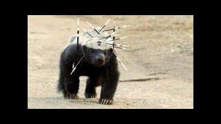 蜜獾的天敵是什麼?看完真是大開眼界!