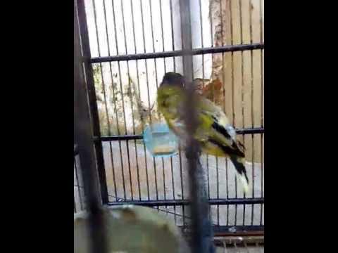 Suara burung Kutilang Sutra