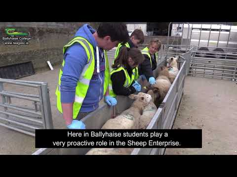 Sheep Enterprise at Ballyhaise College - Marie McGlynn - Ballyhaise Agricultural College