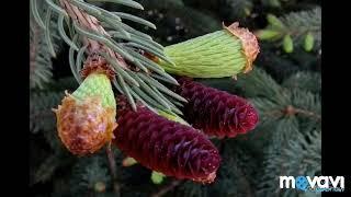 Размножение голосеменных растений. Биология в стихах 6 класс.