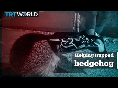 Man helps trapped hedgehog