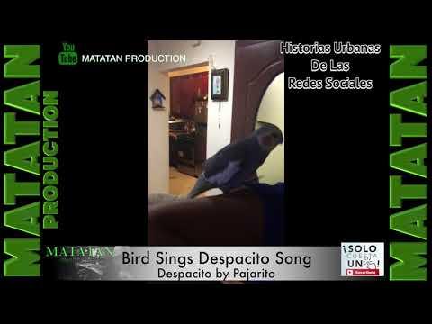"""Bird Sings Popular  Song """"DESPACITO"""" Pajarito Canta """"DESPACITO"""""""